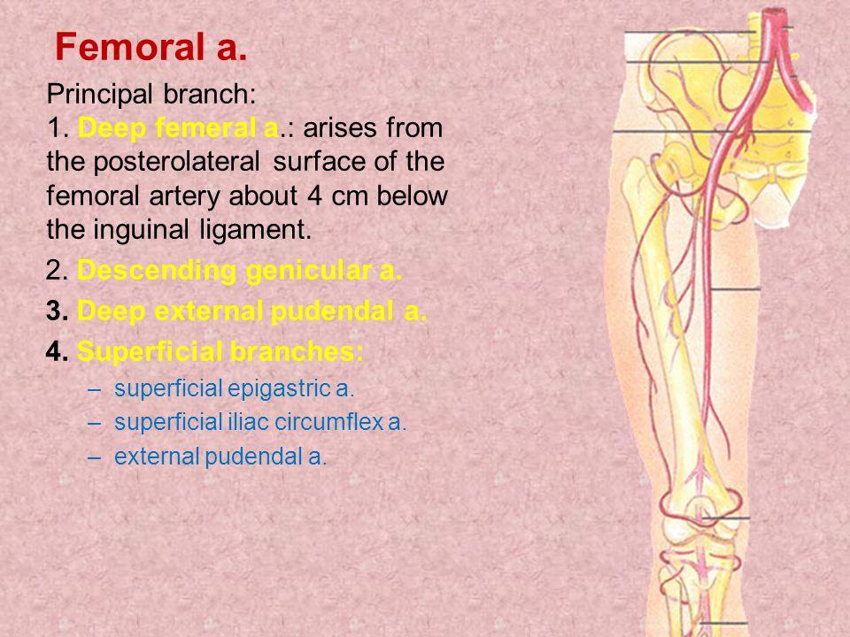 2. Descending genicular a. 3. Deep external pudendal a.