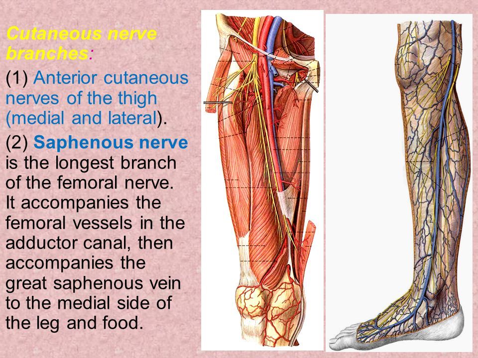 Cutaneous nerve branches: