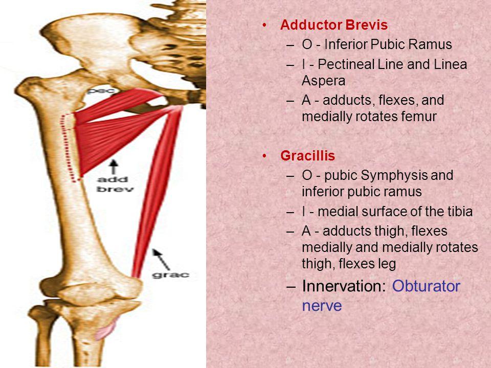 Innervation: Obturator nerve