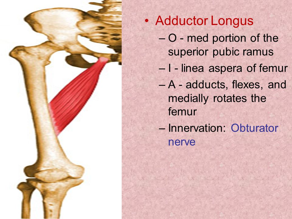 Adductor Longus O - med portion of the superior pubic ramus