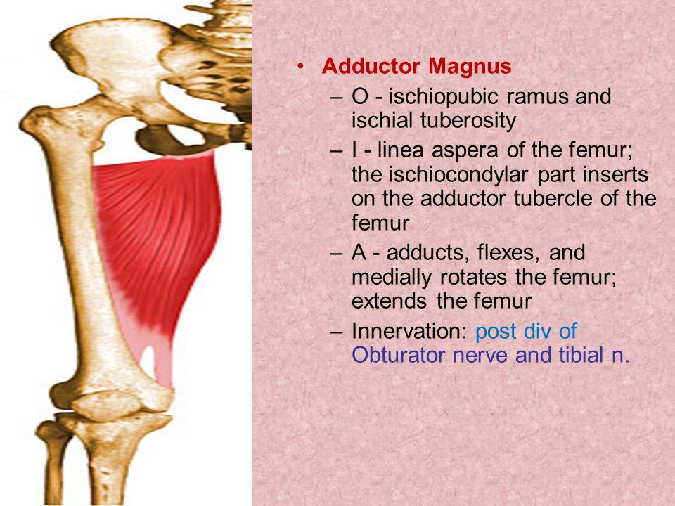 Adductor Magnus O - ischiopubic ramus and ischial tuberosity.
