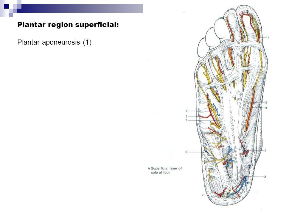 Plantar region superficial: Plantar aponeurosis (1)