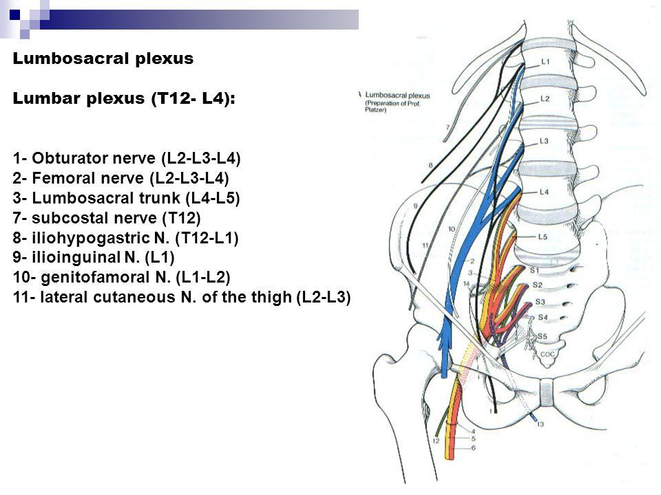 1- Obturator nerve (L2-L3-L4) 2- Femoral nerve (L2-L3-L4)