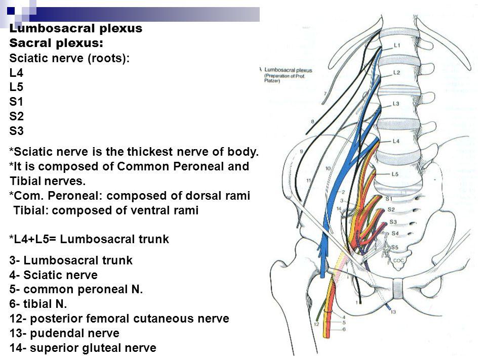 Sciatic nerve (roots): L4 L5 S1 S2 S3