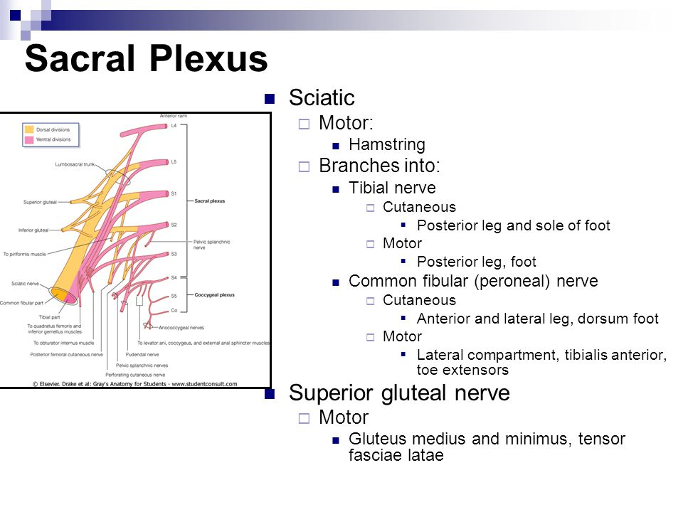 Sacral Plexus Sciatic Superior gluteal nerve Motor: Branches into: