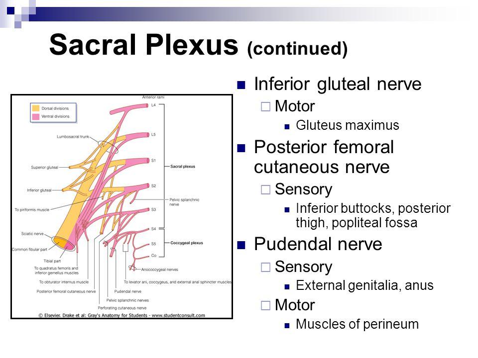Sacral Plexus (continued)