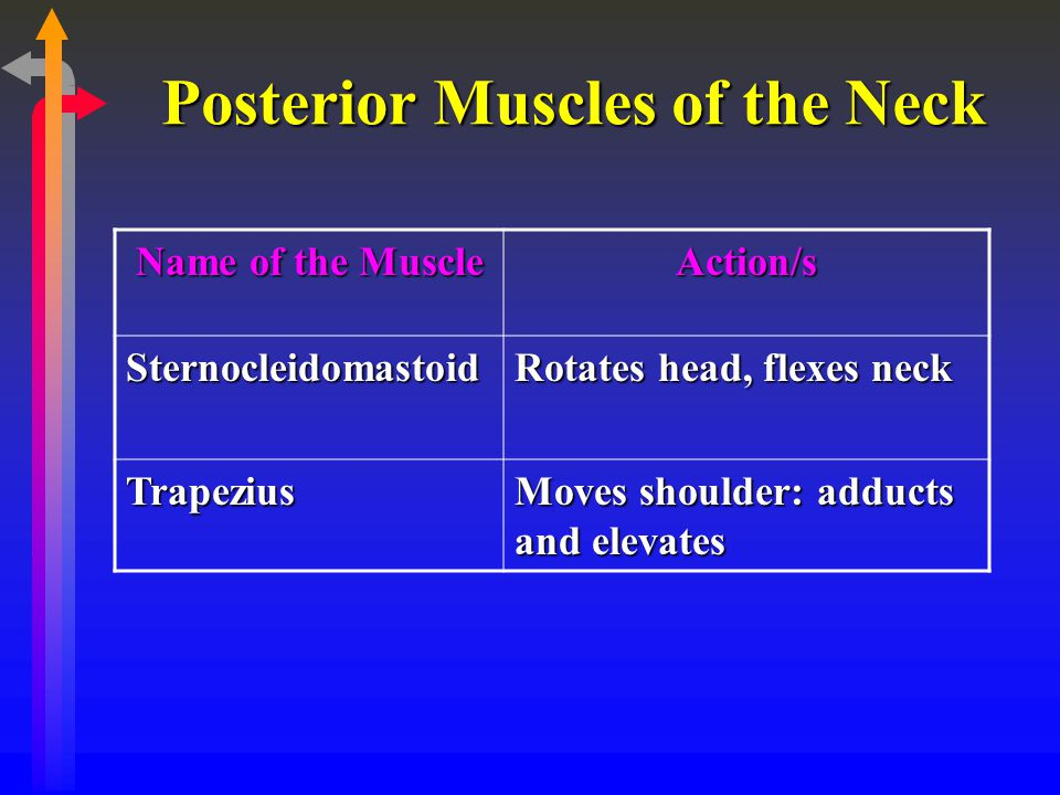 Posterior Muscles of the Neck