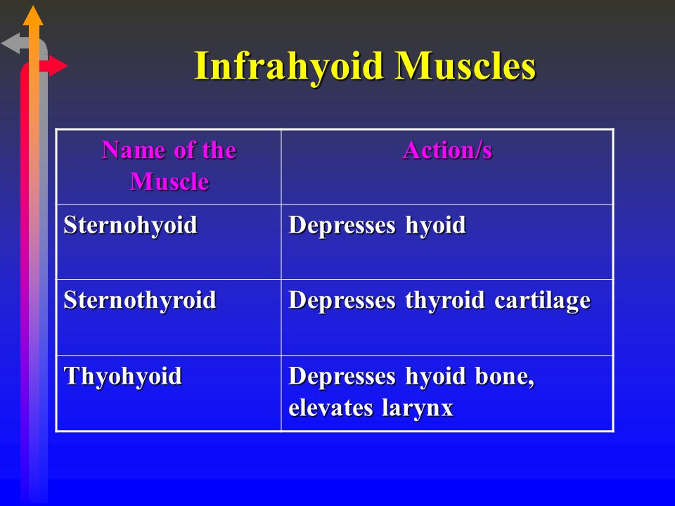 Infrahyoid Muscles Name of the Muscle Action/s Sternohyoid
