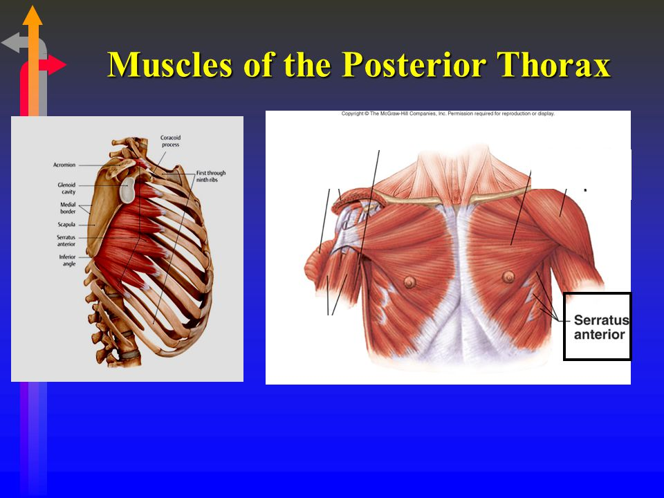 Muscles of the Posterior Thorax