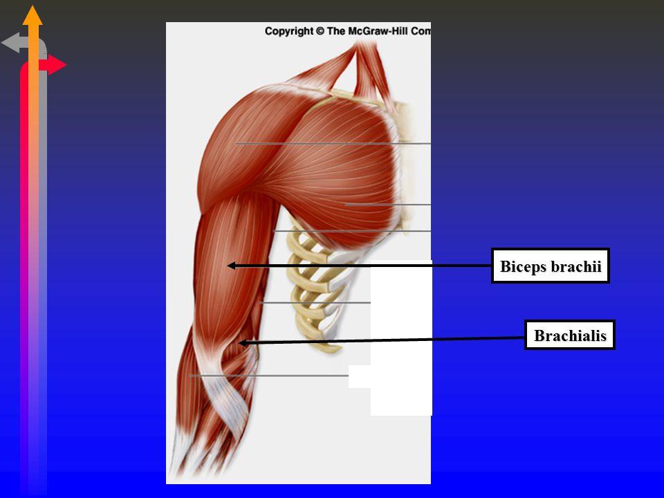 Biceps brachii Brachialis