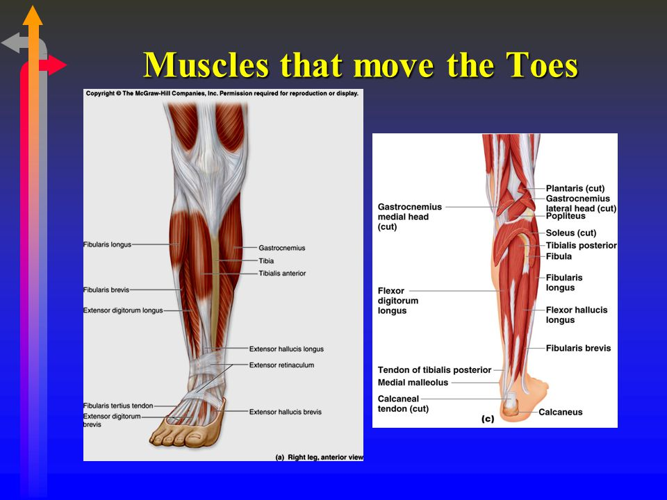Muscles that move the Toes