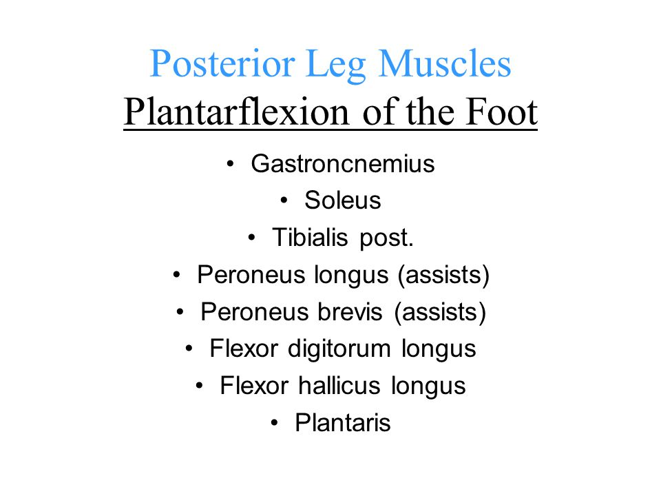 Posterior Leg Muscles Plantarflexion of the Foot