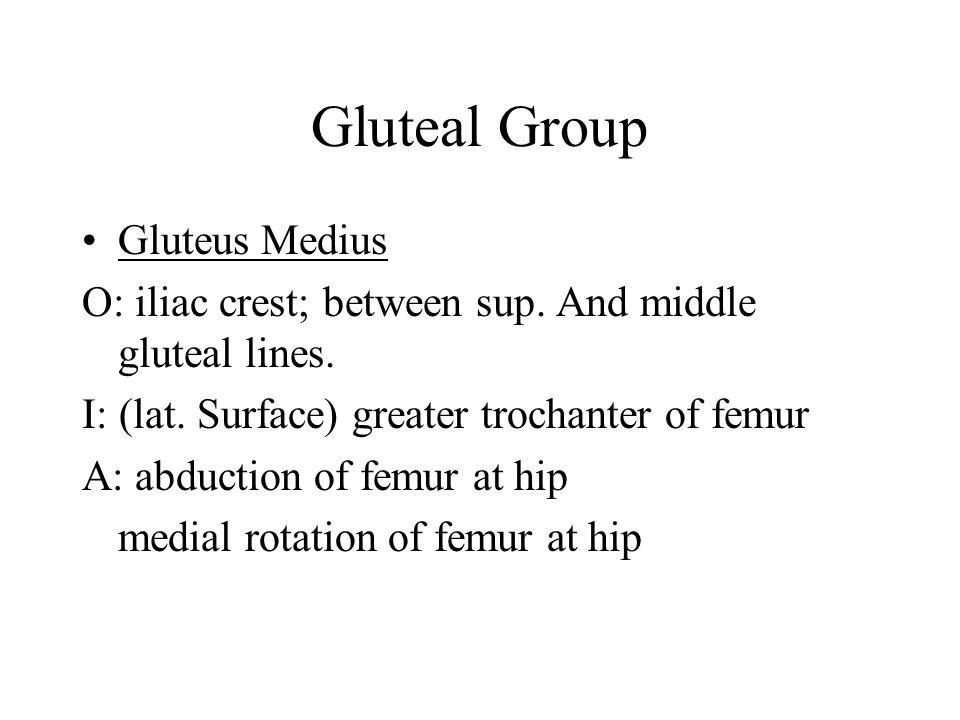 Gluteal Group Gluteus Medius