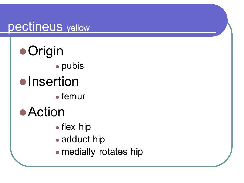 Origin Insertion Action pectineus yellow pubis femur flex hip
