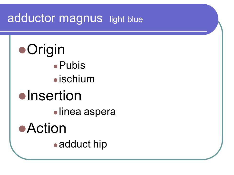 adductor magnus light blue
