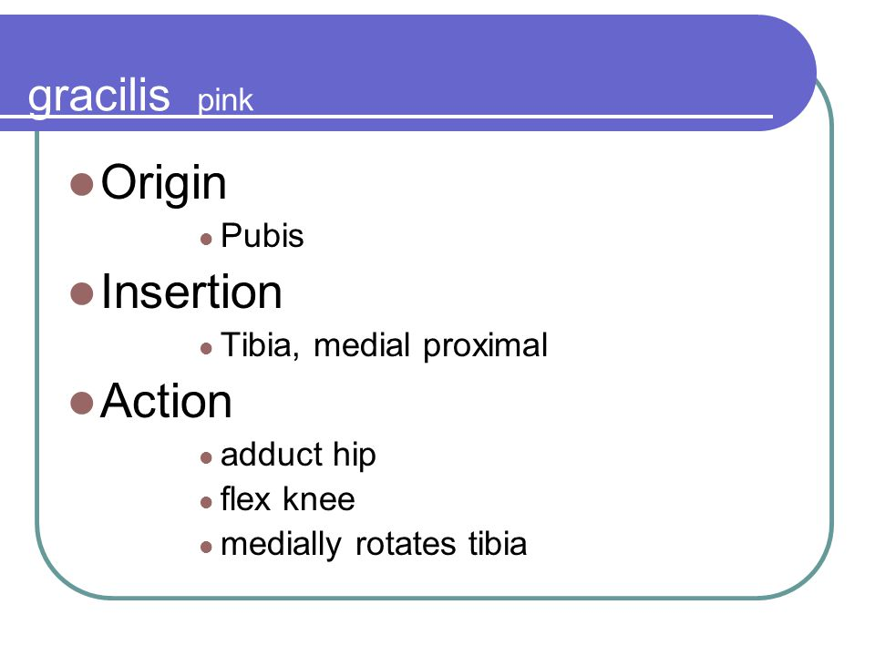 Origin Insertion Action gracilis pink Pubis Tibia, medial proximal