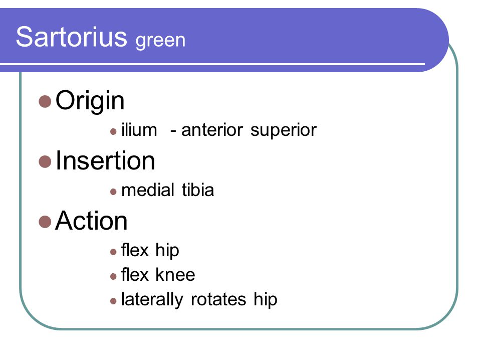 Sartorius green Origin Insertion Action ilium - anterior superior