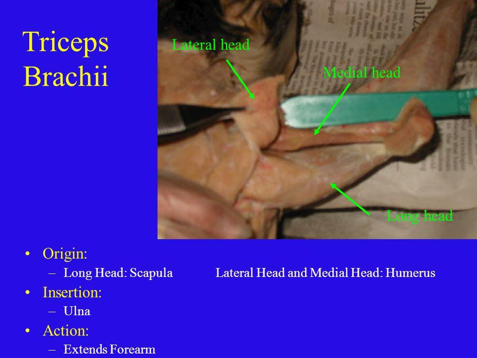 Triceps Brachii Lateral head Medial head Long head Origin: Insertion: