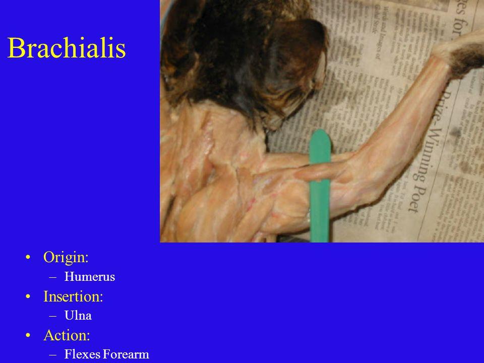Brachialis Origin: Humerus Insertion: Ulna Action: Flexes Forearm