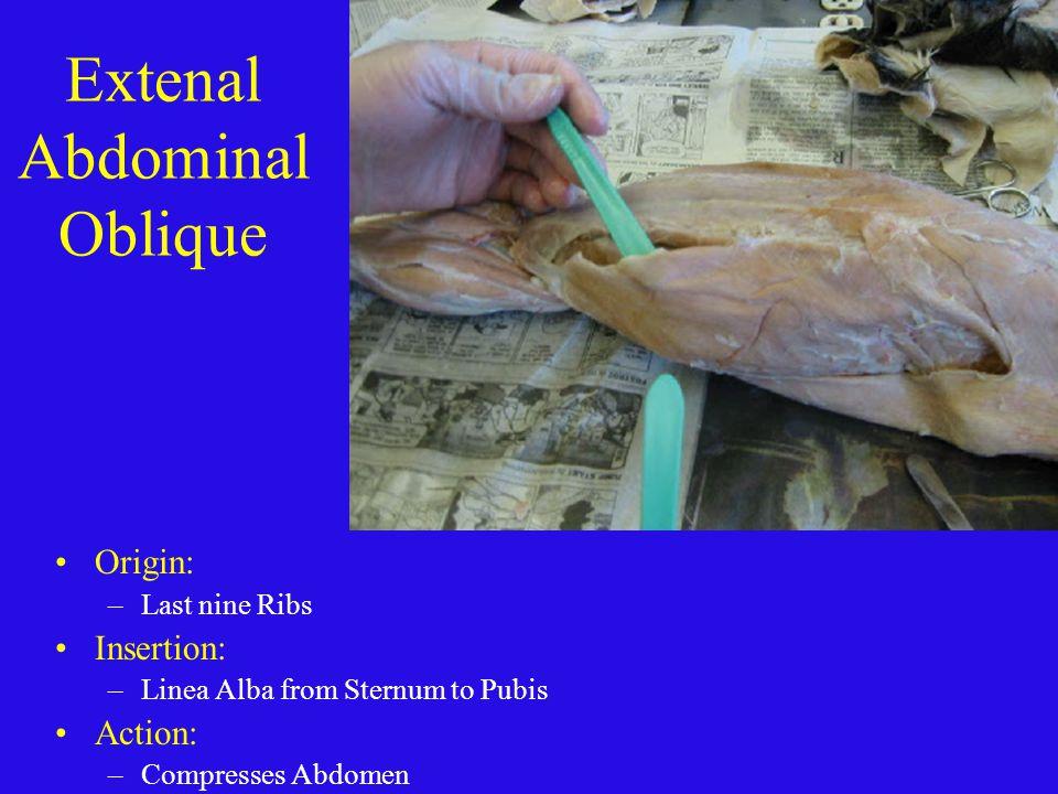 Extenal Abdominal Oblique