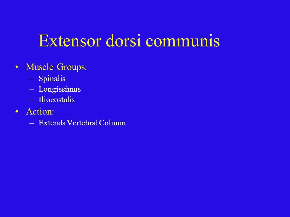 Extensor dorsi communis