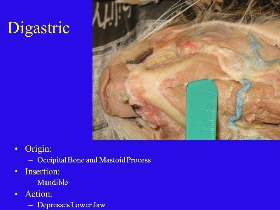 Digastric Origin: Insertion: Action: