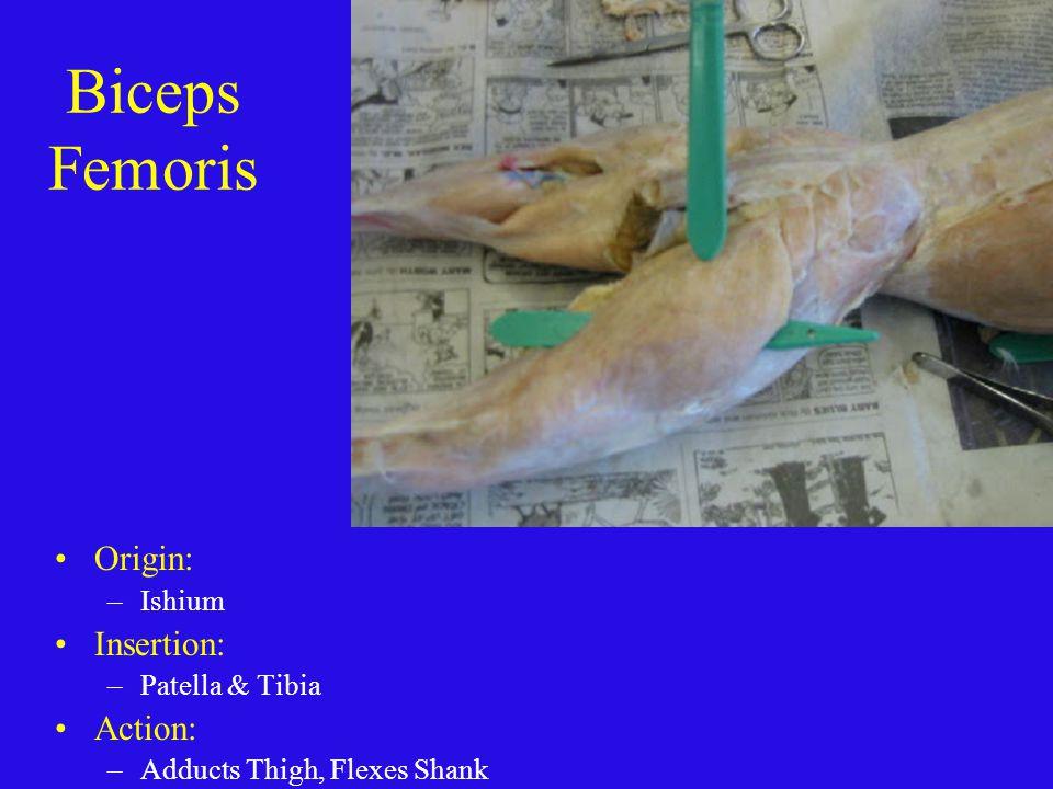 Biceps Femoris Origin: Insertion: Action: Ishium Patella & Tibia