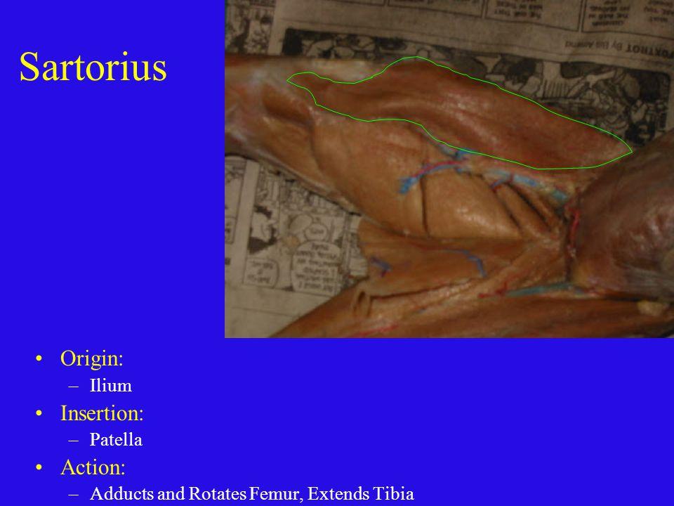 Sartorius Origin: Insertion: Action: Ilium Patella