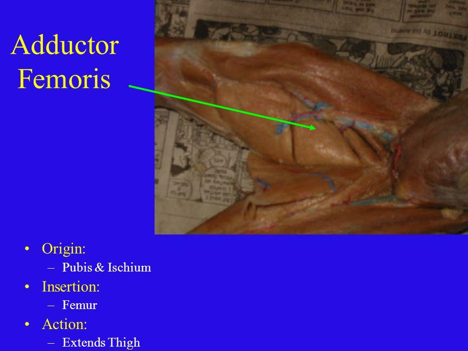 Adductor Femoris Origin: Insertion: Action: Pubis & Ischium Femur