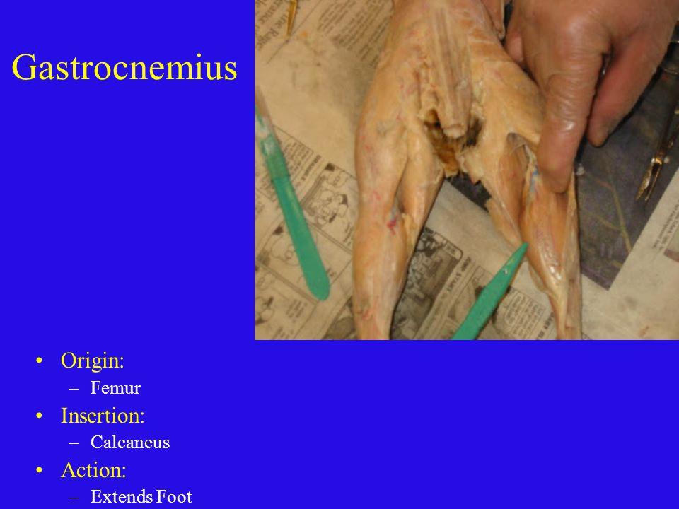Gastrocnemius Origin: Femur Insertion: Calcaneus Action: Extends Foot
