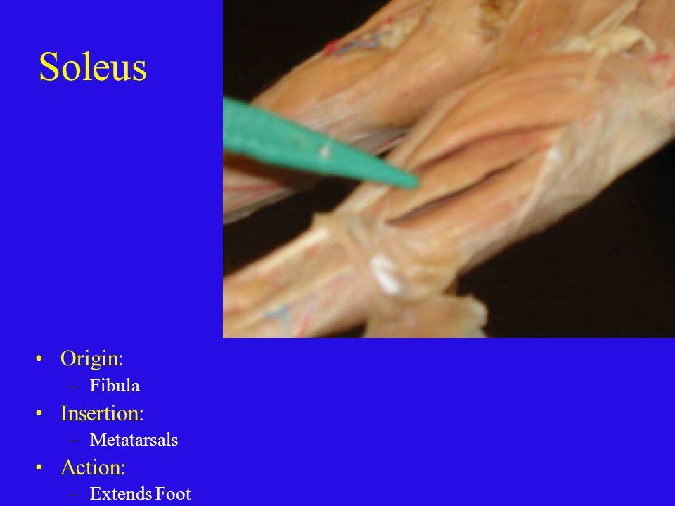 Soleus Origin: Fibula Insertion: Metatarsals Action: Extends Foot