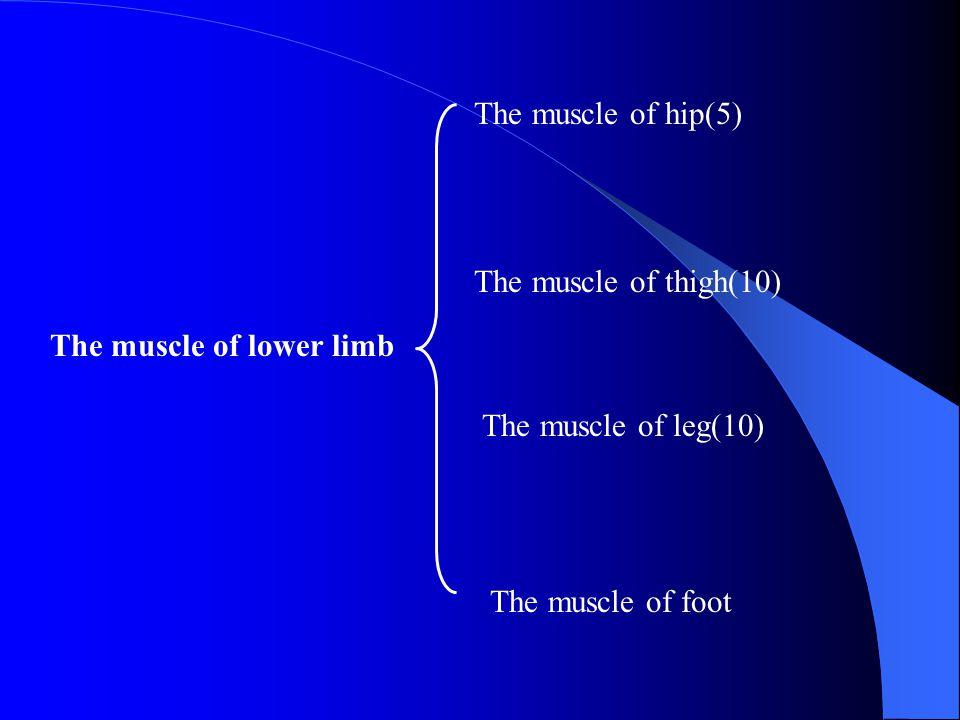 The muscle of hip(5) The muscle of thigh(10) The muscle of lower limb.