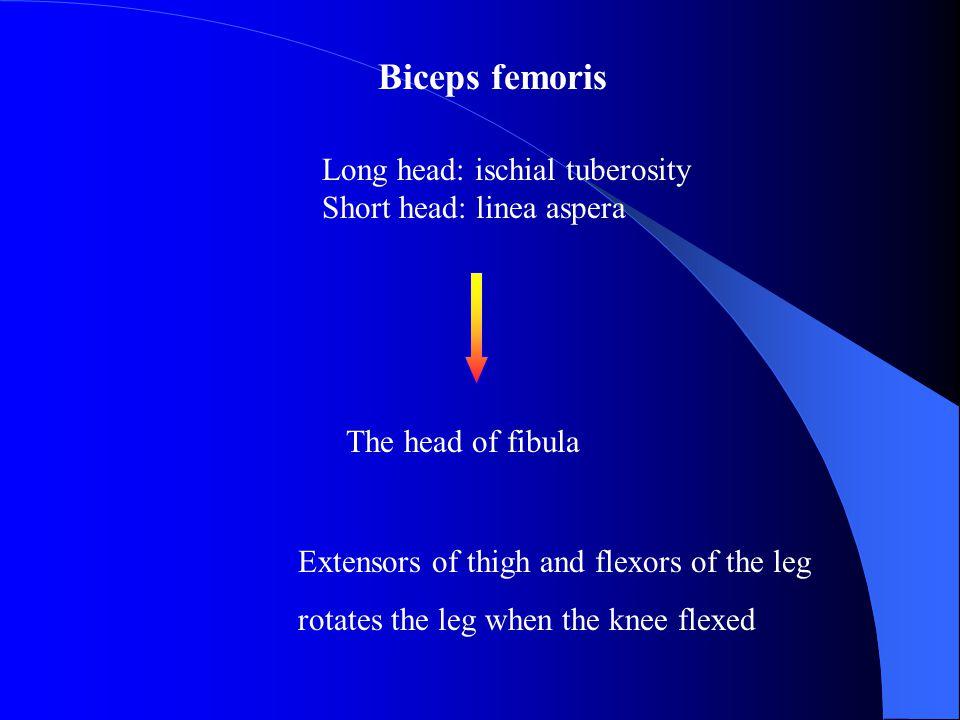 Biceps femoris Long head: ischial tuberosity Short head: linea aspera