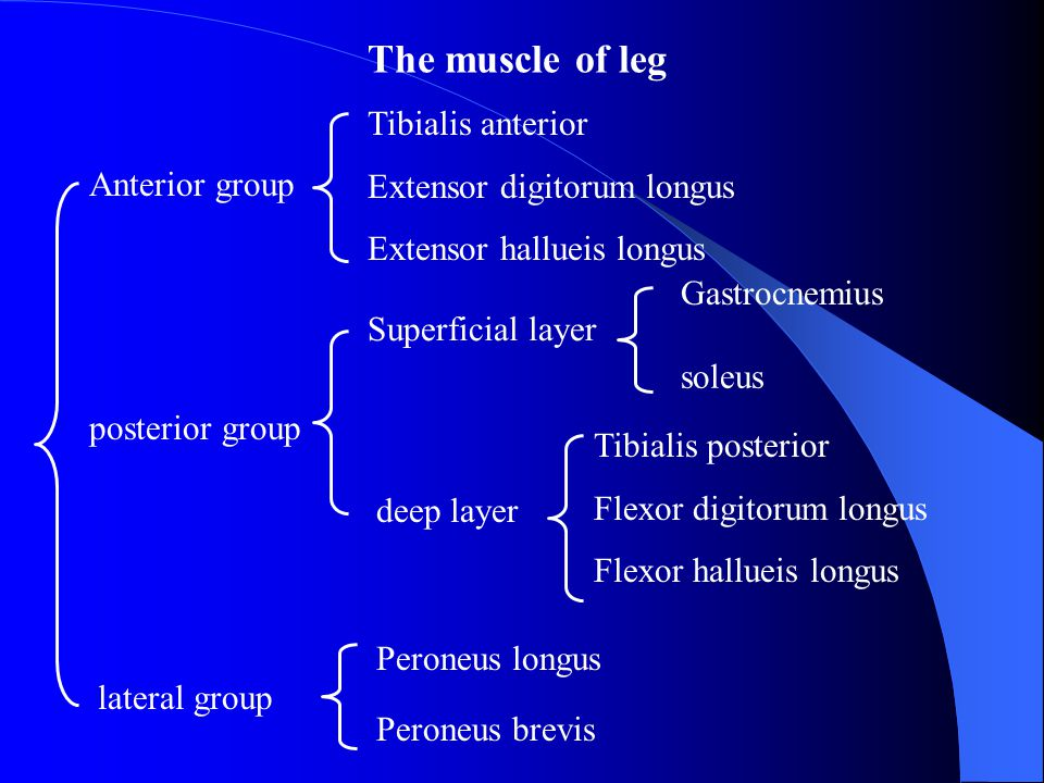 The muscle of leg Tibialis anterior Extensor digitorum longus