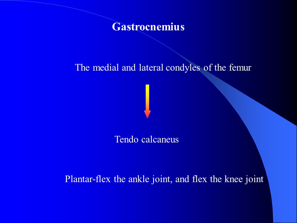 Gastrocnemius The medial and lateral condyles of the femur