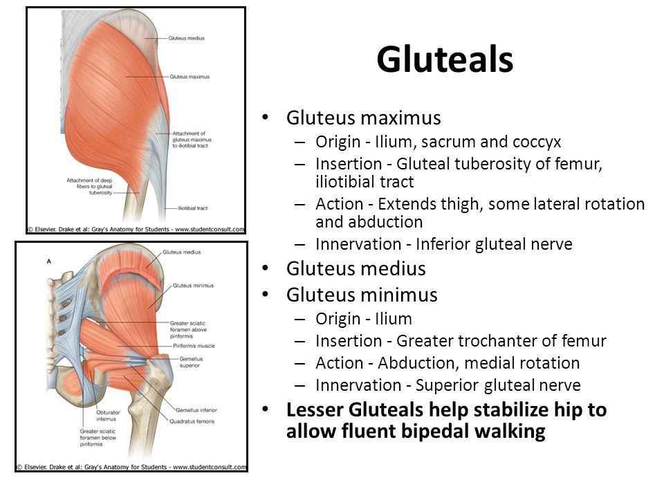 Gluteals Gluteus maximus Gluteus medius Gluteus minimus