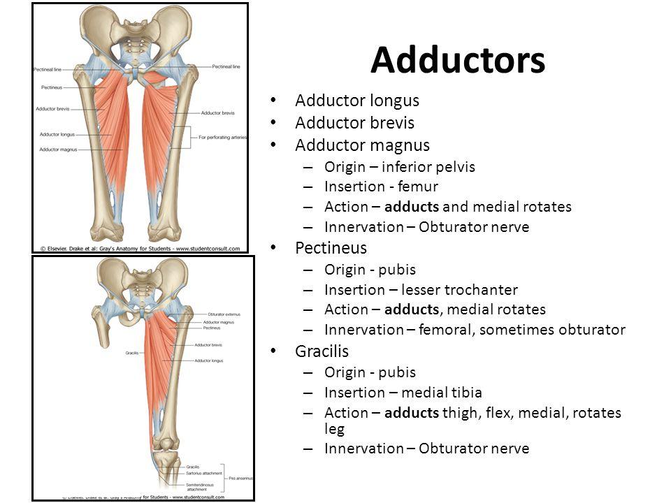 Adductors Adductor longus Adductor brevis Adductor magnus Pectineus