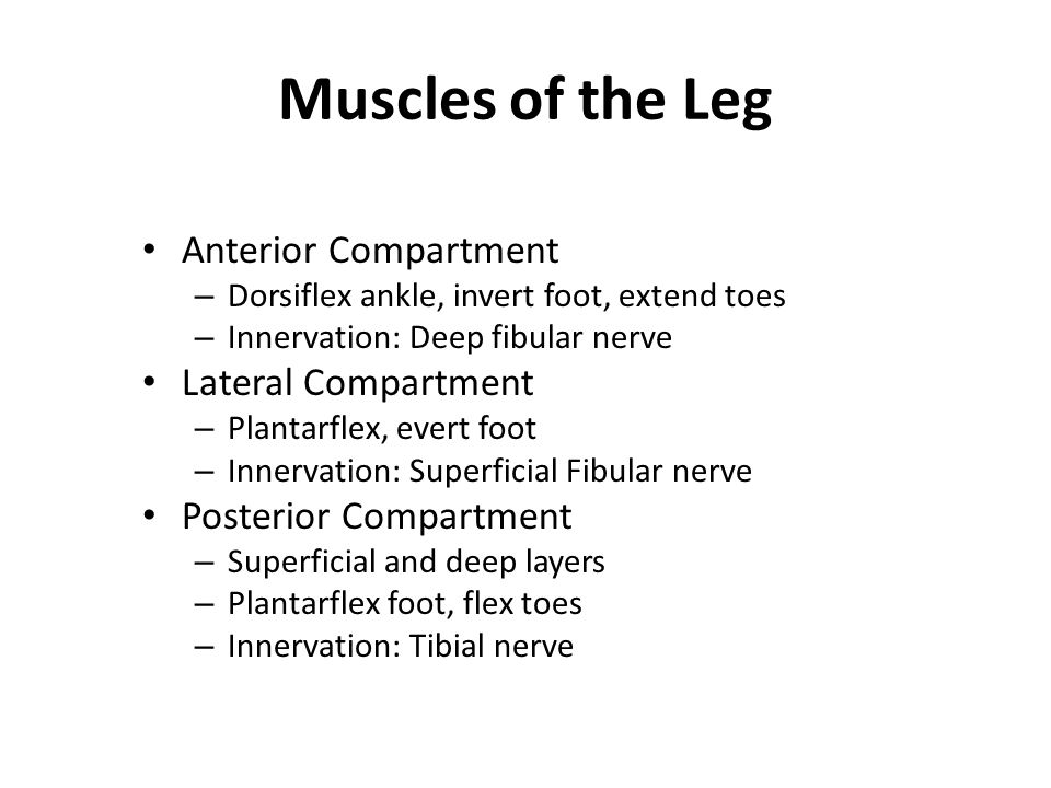 Muscles of the Leg Anterior Compartment Lateral Compartment