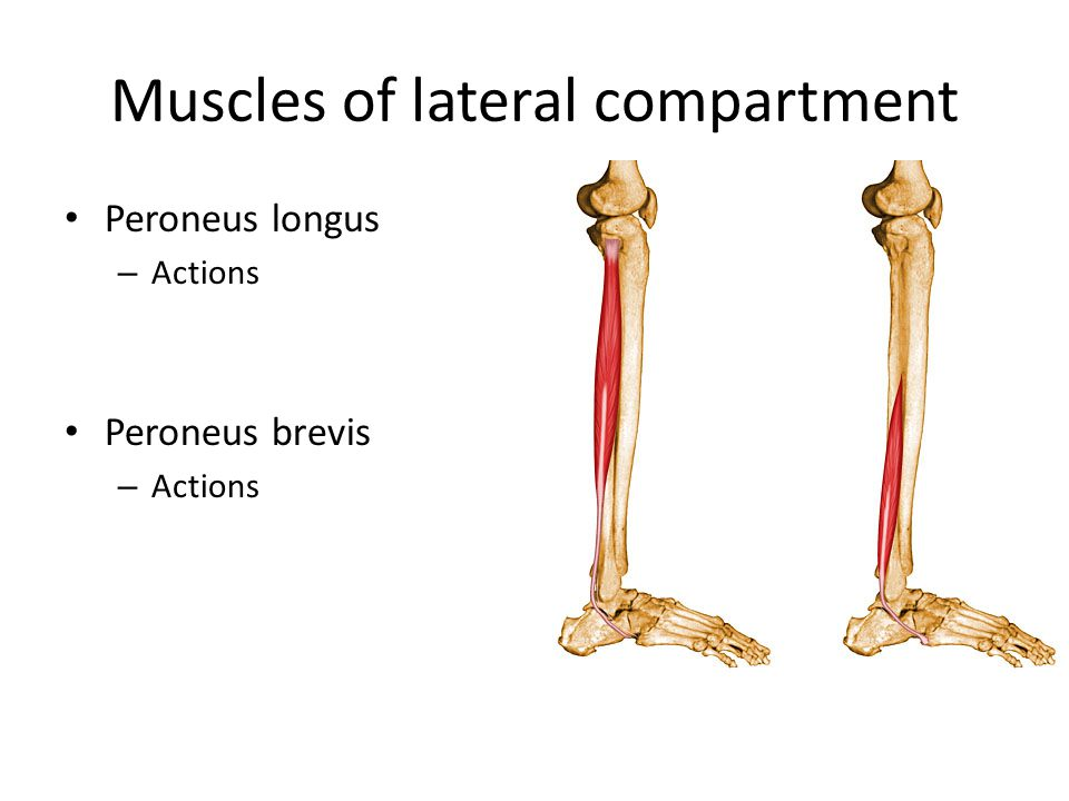 Muscles of lateral compartment