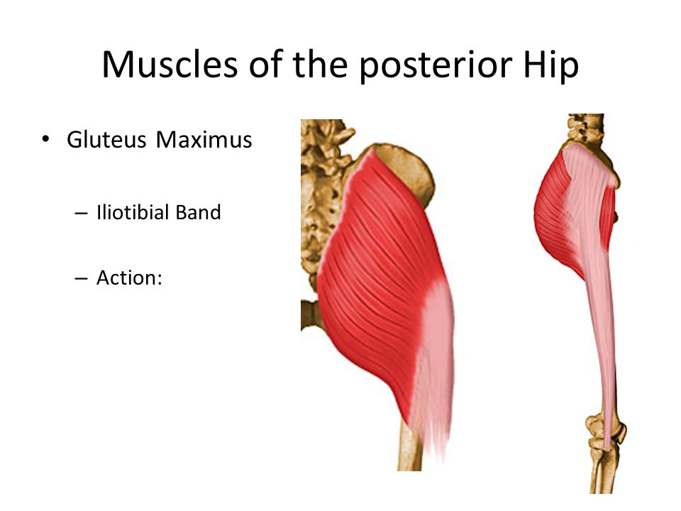 Muscles of the posterior Hip
