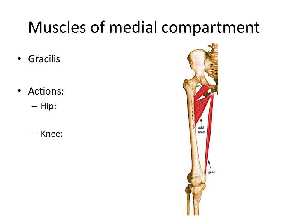 Muscles of medial compartment