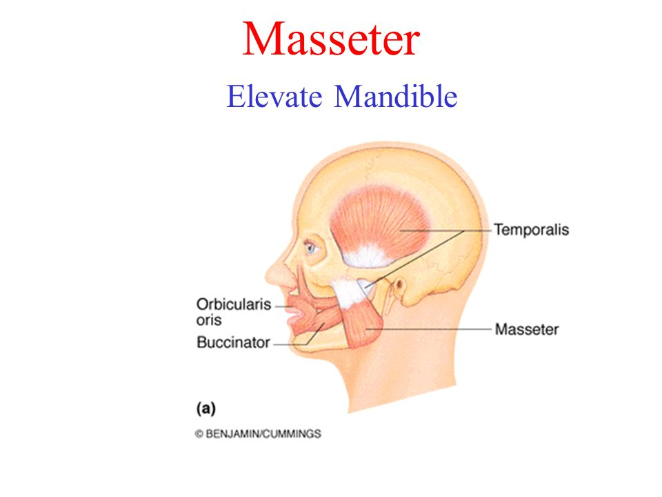 Masseter Elevate Mandible