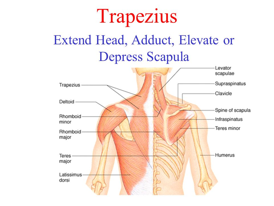 Extend Head, Adduct, Elevate or Depress Scapula