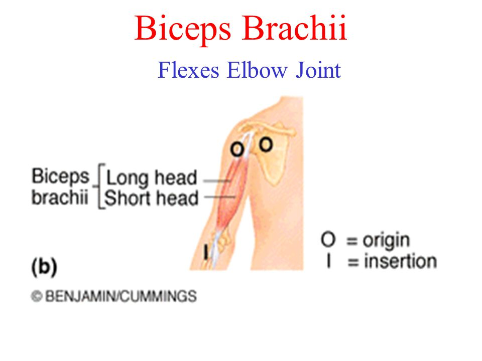 Biceps Brachii Flexes Elbow Joint