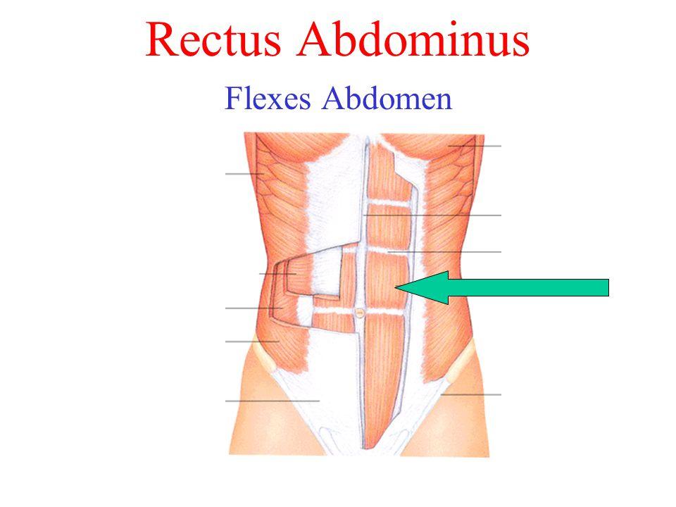 Rectus Abdominus Flexes Abdomen