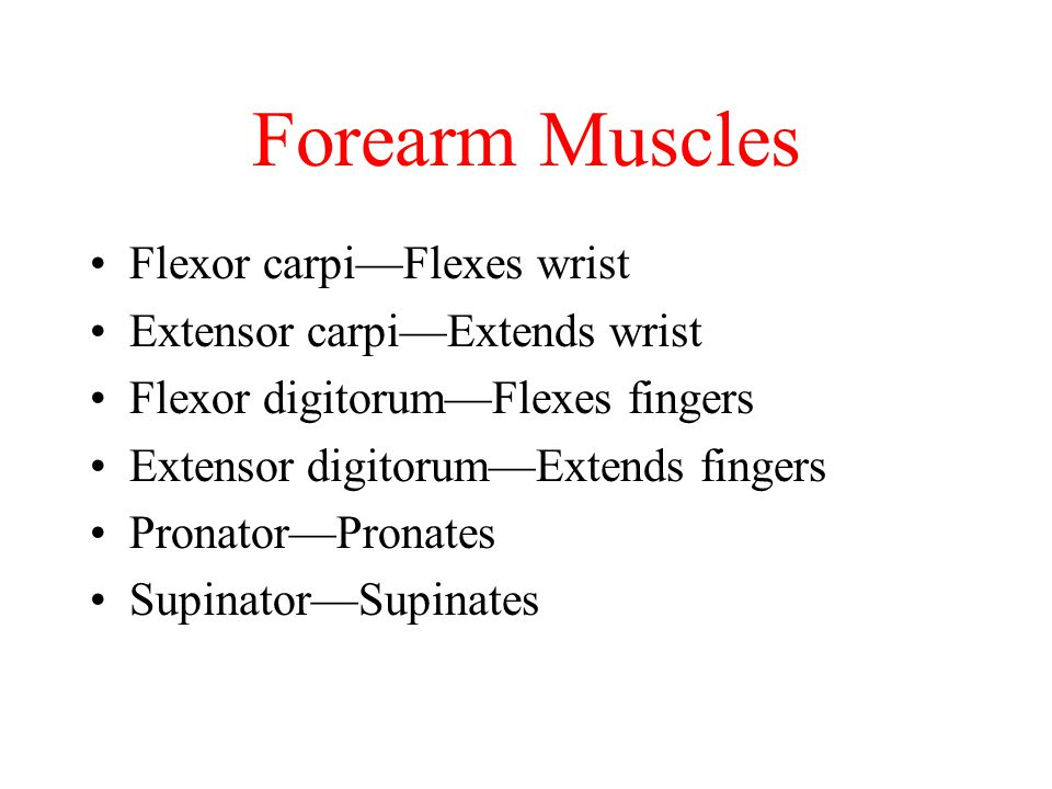 Forearm Muscles Flexor carpi—Flexes wrist Extensor carpi—Extends wrist