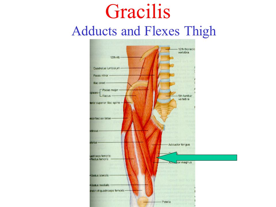 Adducts and Flexes Thigh
