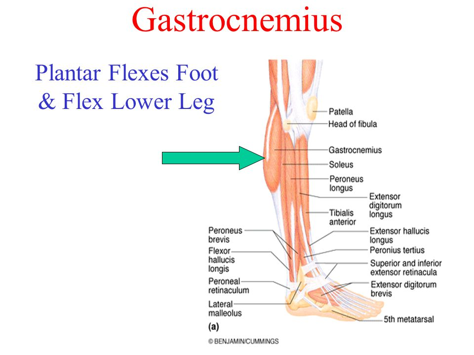 Plantar Flexes Foot & Flex Lower Leg