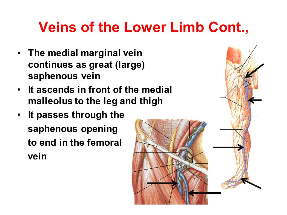 Veins of the Lower Limb Cont.,