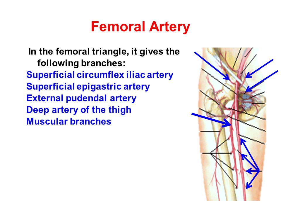 Femoral Artery Superficial circumflex iliac artery